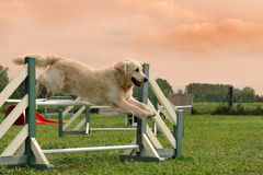Golden retriever in agility. Purebred golden retriever jumping in a training of agility stock photo