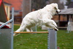 Golden retriever at agility course Royalty Free Stock Photography