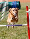 Golden retriever allant au-dessus d'un saut d'agilité Image stock