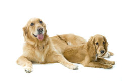 Free Golden Retriever And Cocker Spaniel Together Royalty Free Stock Photography - 4608047