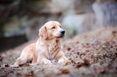Golden retriever. In the autumn leaves Royalty Free Stock Photography