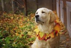 Golden retriever in autumn park Stock Photography