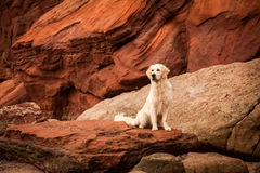 Golden retriever aux roches rouges Photo libre de droits