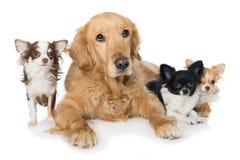 Golden retriever avec des chiens de chiwawa sur le fond blanc Image stock