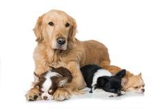 Golden retriever avec des chiens de chiwawa sur le fond blanc Images libres de droits