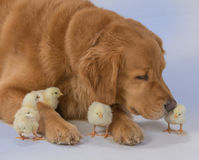 Golden retriever avec des poussins de bébé photos stock