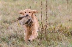 Golden retriever avec le faisan Photo stock