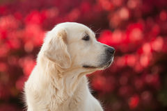 Golden retriever avec le fond rouge de Bokeh Images stock