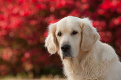 Golden retriever avec le fond rouge de Bokeh Photo stock