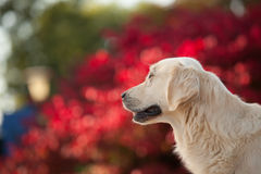 Golden retriever avec le fond rouge de Bokeh Photos stock