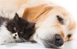 Golden retriever avec un chat persan Photographie stock