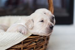 Golden retriever baby boy with white ribbon is trying to escape from the basket. Portrait of two weeks old golden retriever puppy in the basket. Golden retriever royalty free stock photo