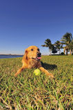 Golden Retriever with ball Royalty Free Stock Photo