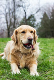 Golden Retriever with ball in the park Royalty Free Stock Photos