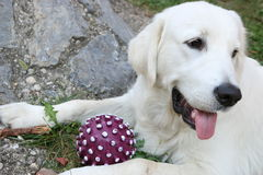 Golden retriever with ball. Golden retriever after playing with ball Stock Photography