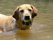 Golden Retriever with Ball in Water Royalty Free Stock Image