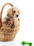 Golden retriever in basket Stock Images