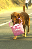 Golden Retriever with basket Royalty Free Stock Photo