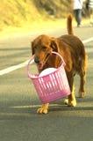 Golden Retriever with basket. A golden retriever carrying a basket royalty free stock photo