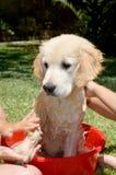 Golden Retriever bath time Stock Photo