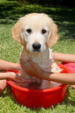 Golden Retriever bath time Royalty Free Stock Photography