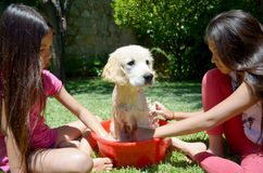 Golden Retriever bath time Royalty Free Stock Photos