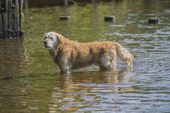 Golden retriever bathes in the sea. Image is shot in Refne-bay located just outside Halden city, Norway Royalty Free Stock Photo