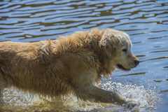 Golden retriever bathes in the sea. Image is shot in Refne-bay located just outside Halden city, Norway Royalty Free Stock Images