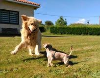 Golden retriever bawić się z chiguagua zdjęcia stock