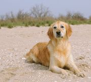 Golden retriever on the beach Stock Image