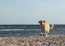 Golden retriever on the beach Royalty Free Stock Images