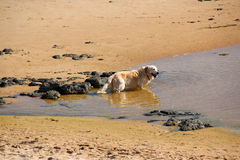 Golden Retriever At Beach Stock Images