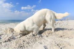 Golden retriever on the beach Royalty Free Stock Image