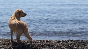 Golden retriever on the beach. In a beautiful position of waiting for his master Royalty Free Stock Images