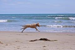 Golden retriever beach Stock Photography