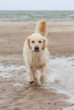 Golden Retriever at the beach. Has fun royalty free stock images