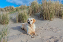 Golden Retriever at the beach. Golden Retriever laying at the beach royalty free stock photo