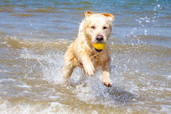 Golden Retriever at the beach. Golden Retriever playing at the beach stock photo