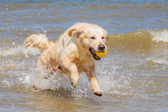 Golden Retriever at the beach Royalty Free Stock Photo