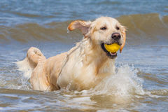 Golden Retriever at the beach. Golden Retriever playing at the beach stock images
