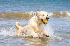 Golden Retriever at the beach. Golden Retriever playing at the beach royalty free stock photo