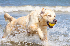 Golden Retriever at the beach. Golden Retriever playing at the beach royalty free stock image