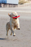 Golden Retriever at the beach. Golden Retriever playing at the beach stock image