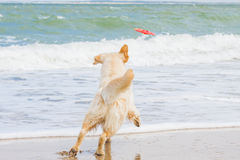 Golden Retriever at the beach. Golden Retriever playing at the beach royalty free stock images