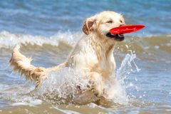 Golden Retriever at the beach. Golden Retriever playing at the beach stock photography
