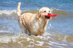 Golden Retriever at the beach. Golden Retriever playing at the beach royalty free stock photography