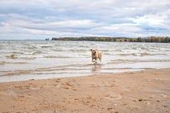 Golden retriever on beach. Stock Photo