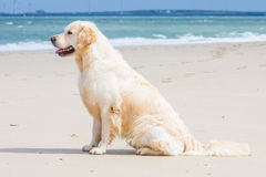 Golden Retriever at the beach. Golden Retriever sitting at the beach Stock Image