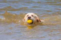 Golden Retriever at the beach. Golden Retriever swimming at the beach royalty free stock photo
