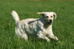 Golden Retriever. Beautiful Golden Retriever dog running on a meadow royalty free stock photography